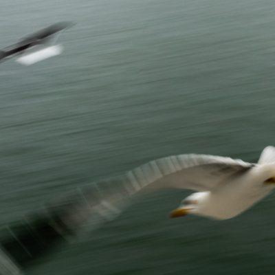 Den Helder - Meeuwen bij de veerboot