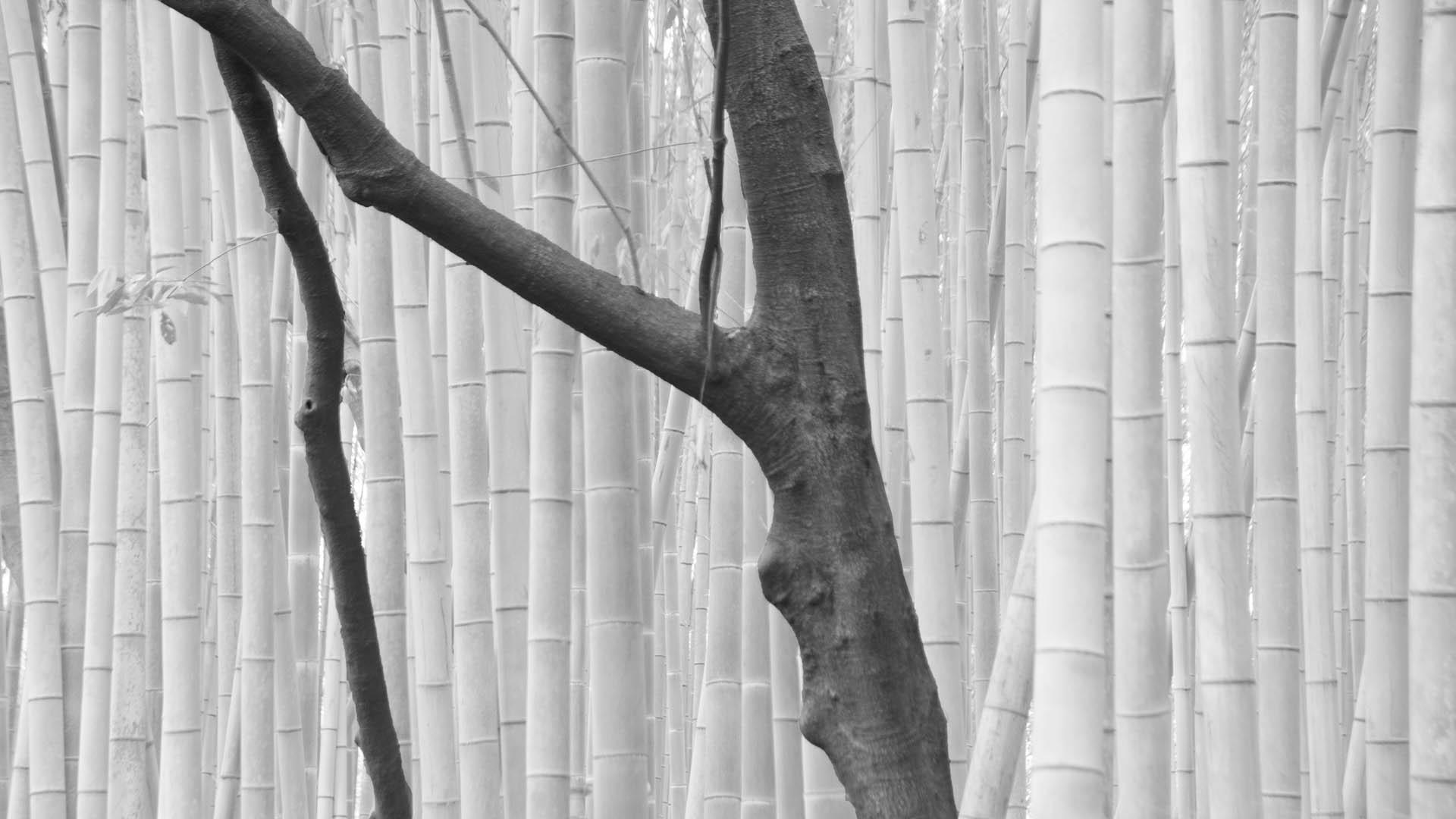 Japan - Bamboebos bij  Arashiyama, Kyoto.