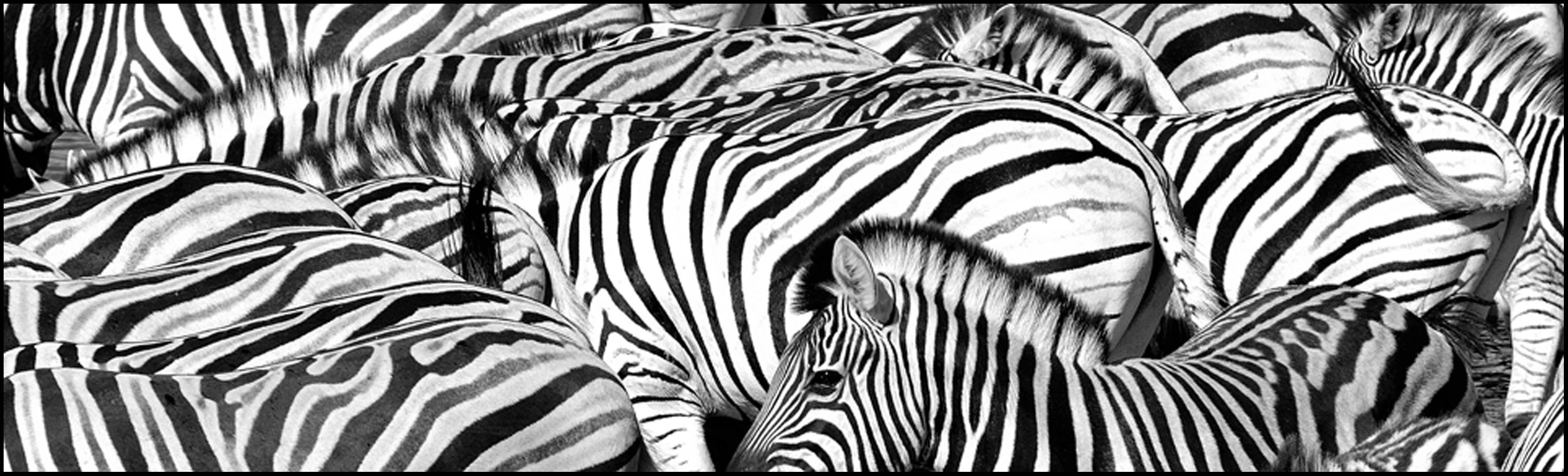 PS8_5086_zebras_3000x900-96