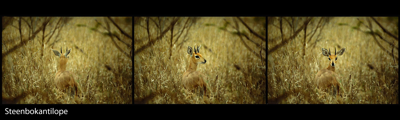 Steenbokantilope-3000x900-96