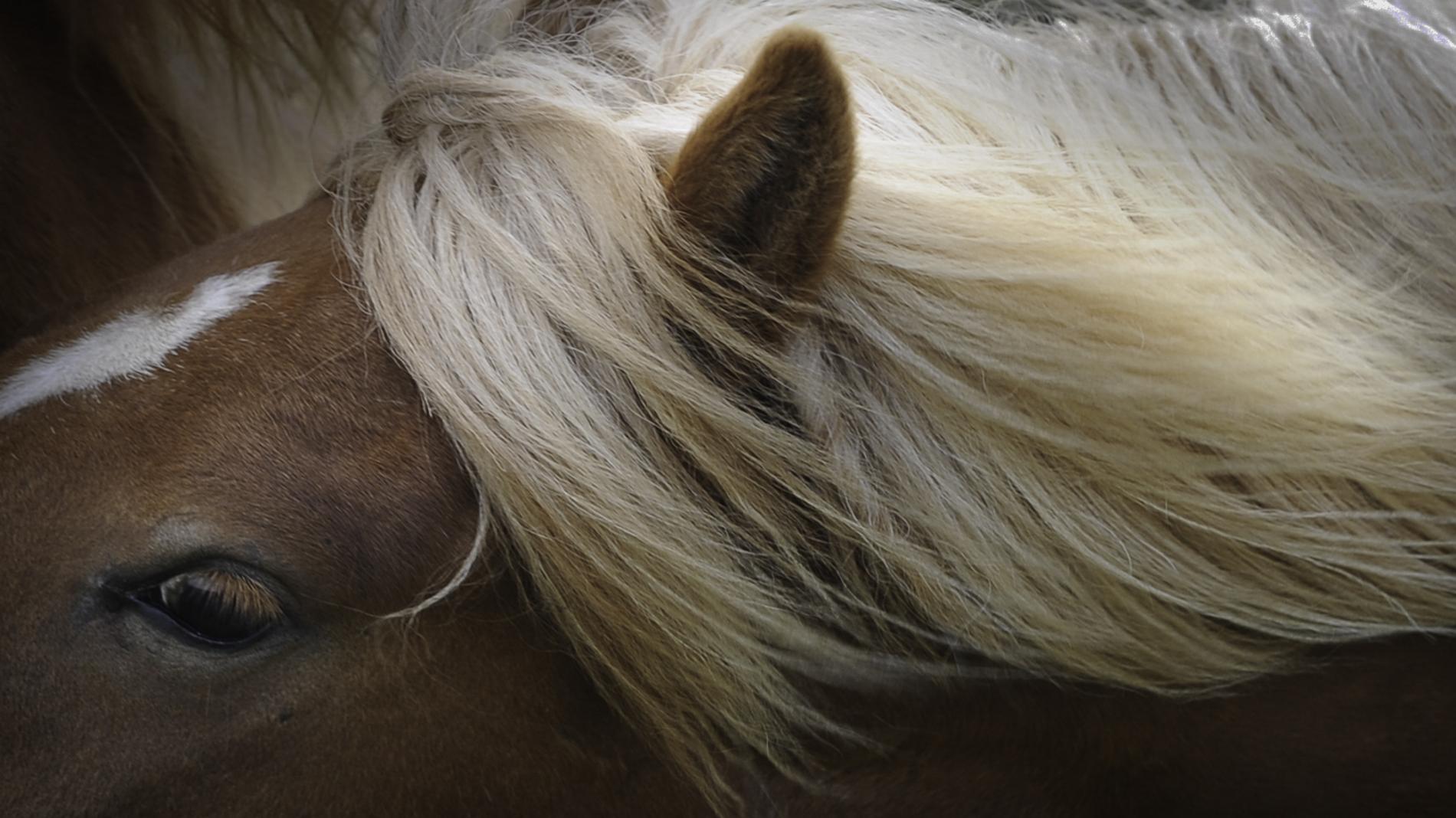 IJslandse paarden - 01